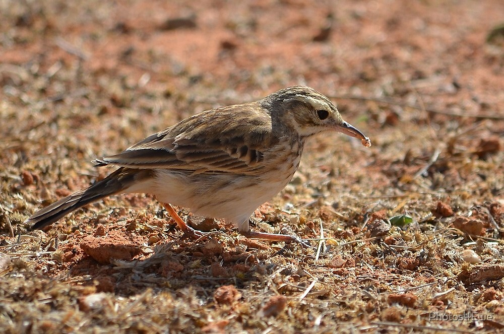 Richard's Pipit racing away with food by Mel  LEE