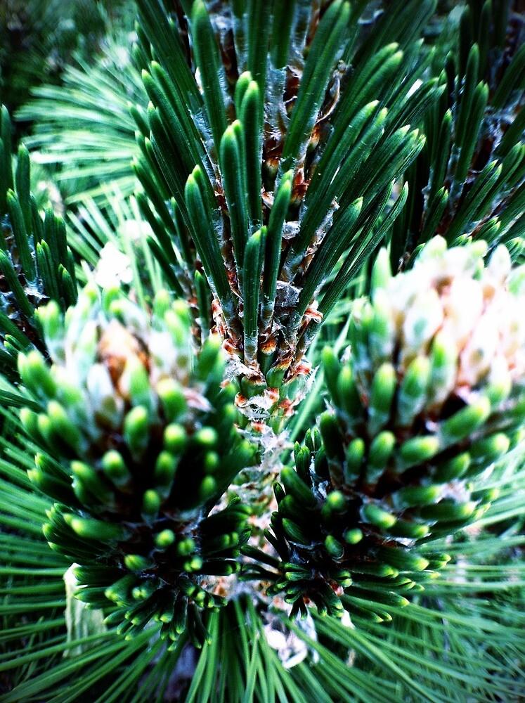 Pine Macro #4 by Jock Anderson