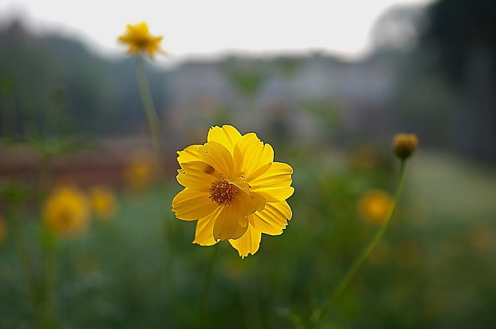 sunlight flower by pushkar17