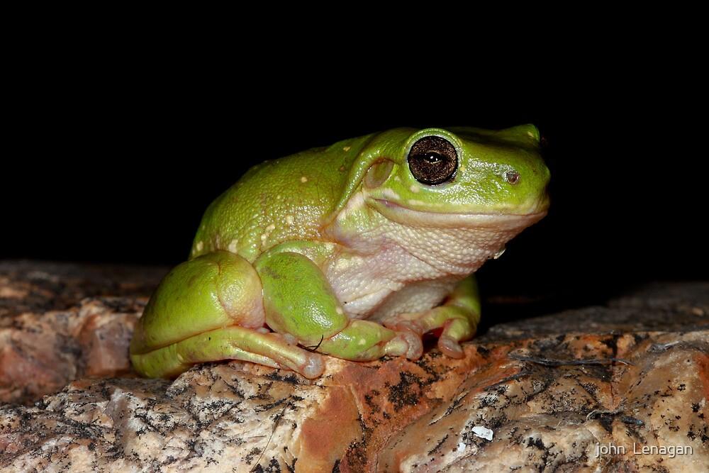 Centralian Tree Frog -  Litoria gilleni - NT by john  Lenagan