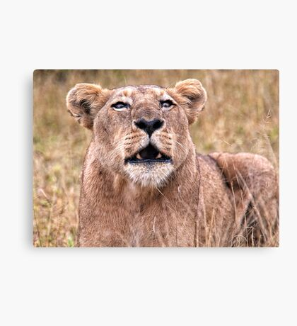 Cross Eyed Lioness Canvas Print