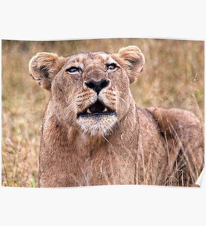 Cross Eyed Lioness Poster