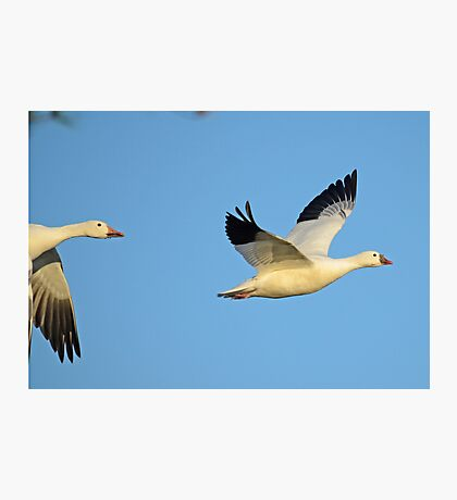 SNOW GEESE – *Best Viewed Larger* Photographic Print