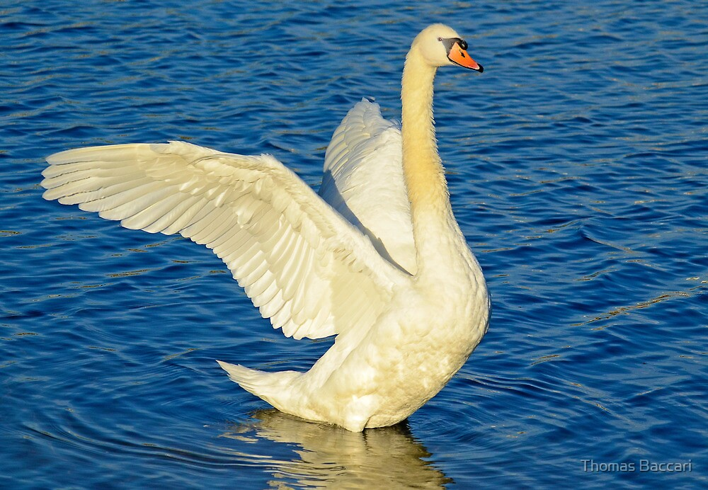 SWAN STRETCH – *Best Viewed Larger* by TJ Baccari Photography