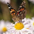 The  Painted Lady by Lolabud