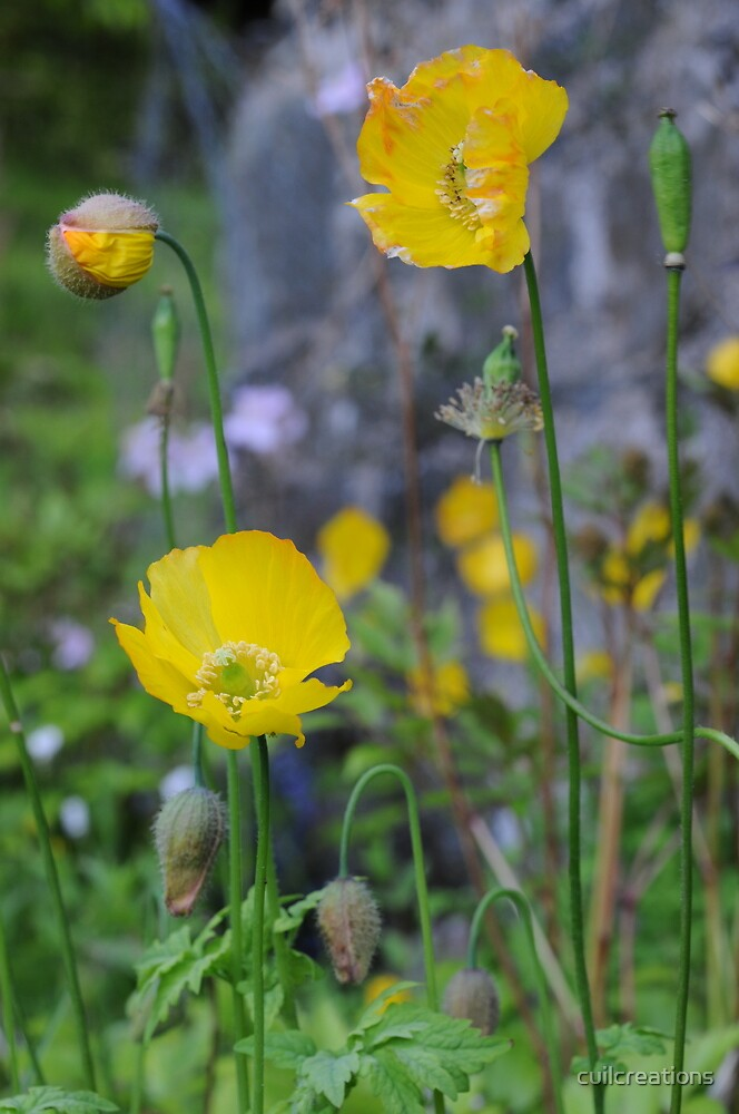 Welsh Poppies by cuilcreations