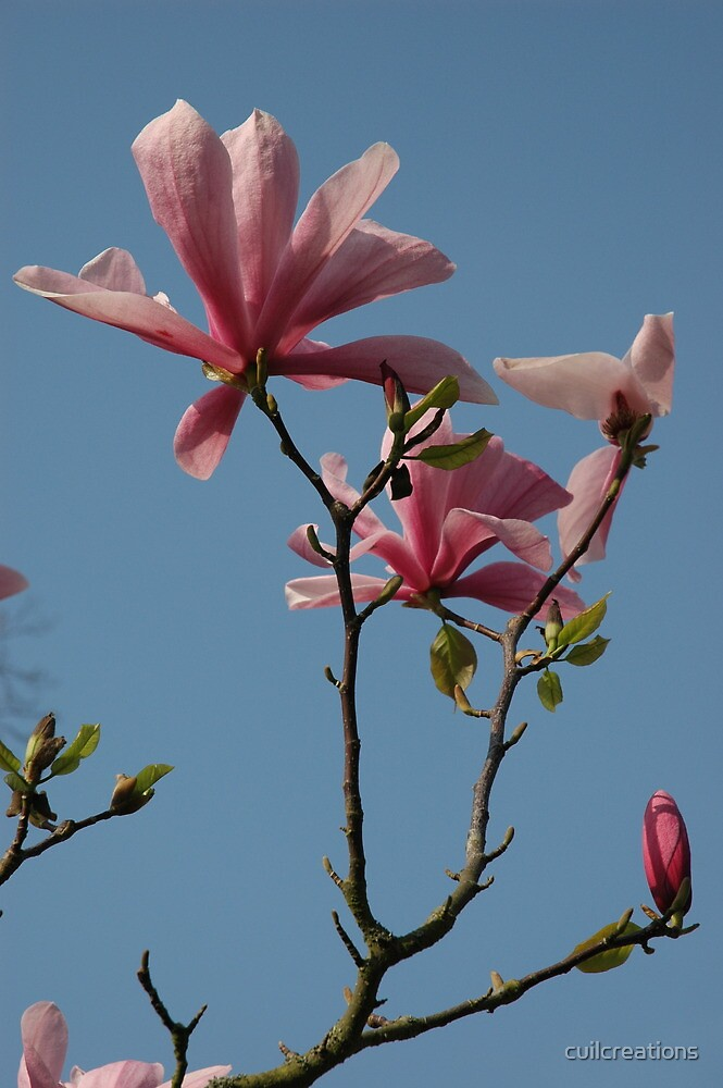 Magnolia, Kew Gardens by cuilcreations