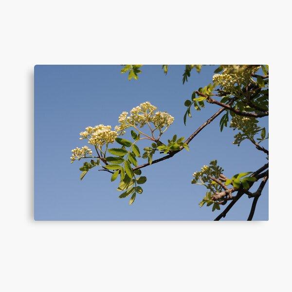 Rowan Flowering Canvas Print