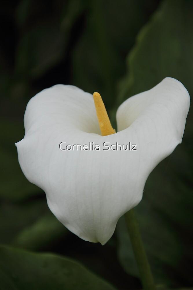 White Calla by Cornelia Schulz
