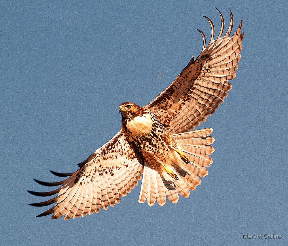 1124121 Red Tailed Hawk by Marvin Collins