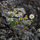 Scentless Mayweed by cuilcreations