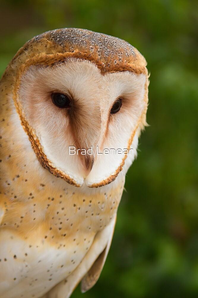 Barn Owl by Brad Lenear