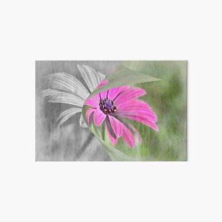 Pink Osteospermum Art Board Print