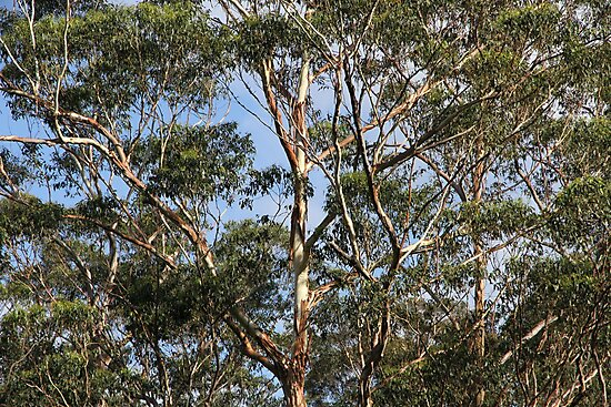 Aussie Bush Sticks: Australian Gum Trees by aussiebushstick