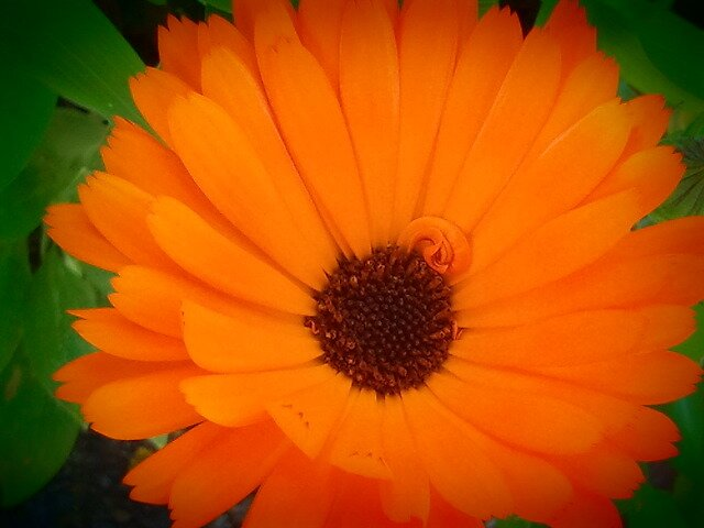 Orange And Brown Daisy by kahoutek24