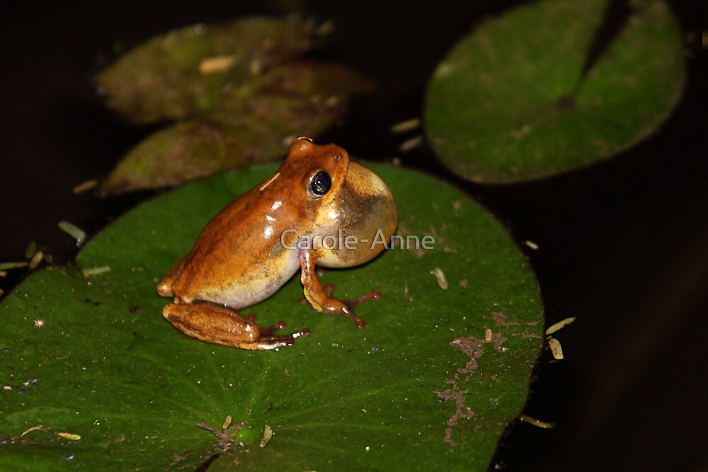 Angola River Frog by Carole-Anne