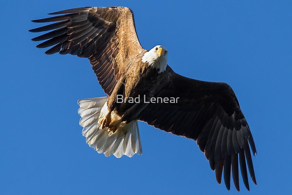 American Bald Eagle by Brad Lenear