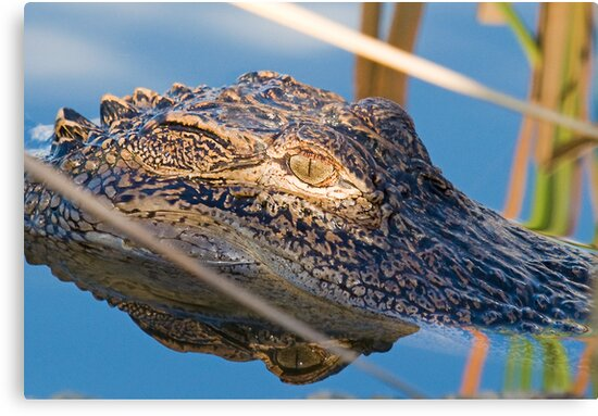 Alligator Eye and Reflection by TJ Baccari Photography