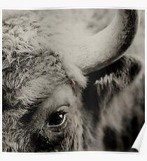 Bisons look Poster