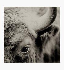 Bisons look Photographic Print
