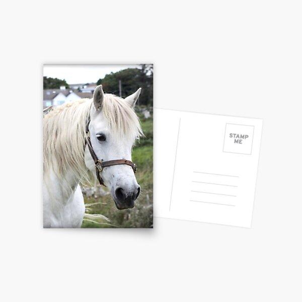Grey Connemara Pony Mare Postcard