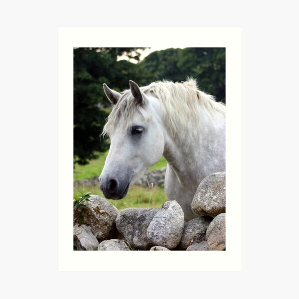 Connemara Pony looking over an Irish stone wall Art Print