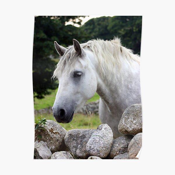 Connemara Pony looking over an Irish stone wall Poster