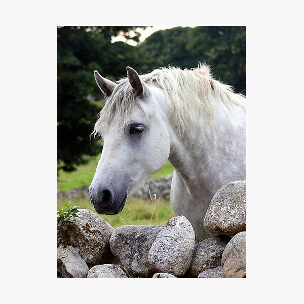 Connemara Pony looking over an Irish stone wall Photographic Print