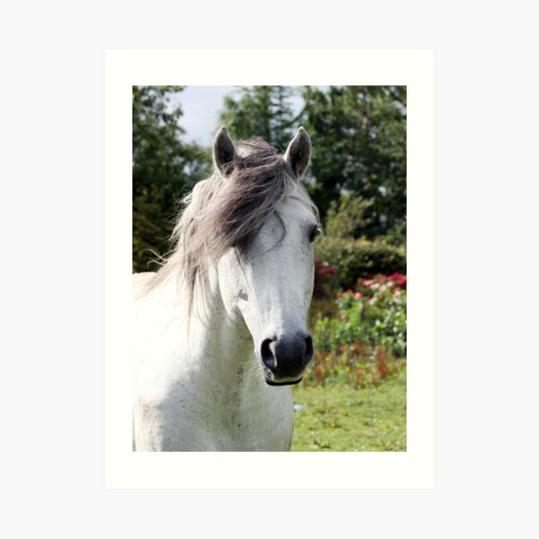Connemara Pony Stallion Art Print