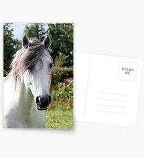 Connemara Pony Stallion Postcards