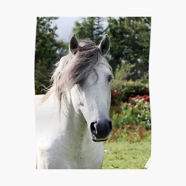 Connemara Pony Stallion Poster