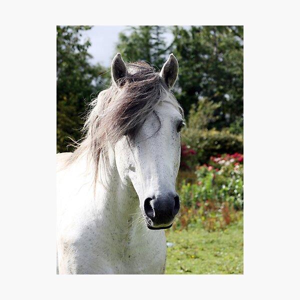 Connemara Pony Stallion Photographic Print