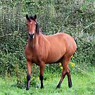 Connemara Pony mare in the field by ConnemaraPony