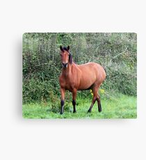 Connemara Pony mare in the field Metal Print
