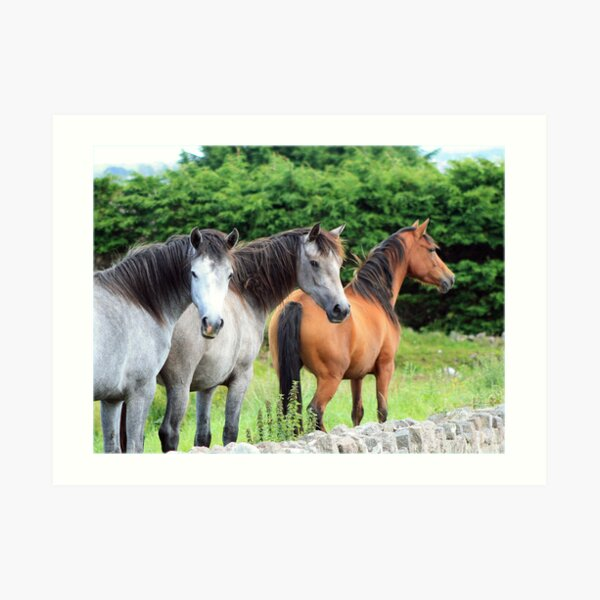 Connemara Ponies in the field Art Print