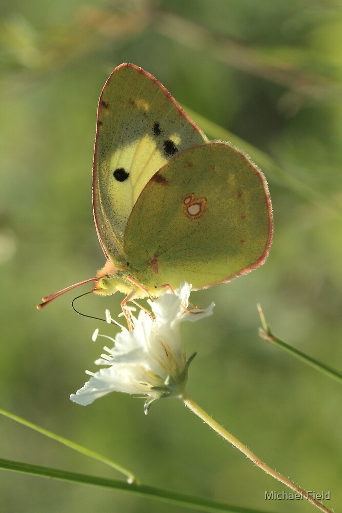 Pale Clouded Yellow Butterfly on Clover (Bansko) South-West Bulgaria 2012 by Michael Field