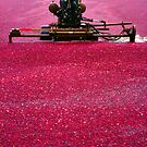 Cranberry Harvest by Eva Kato