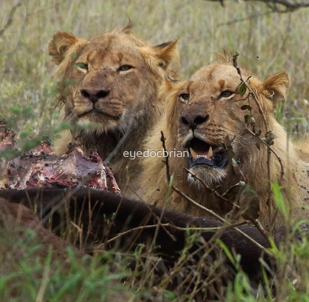Lions Eating - Kruger National park by eyedocbrian