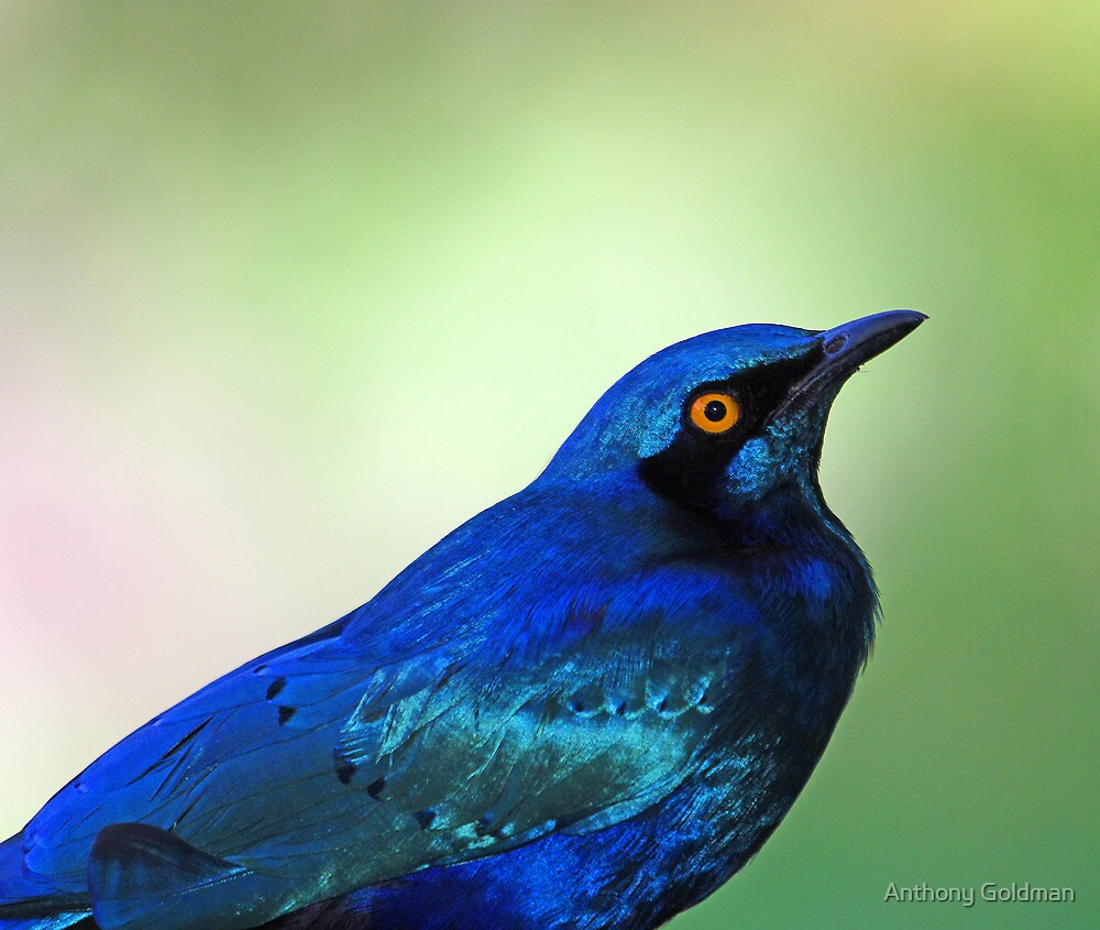 Greater blue eared starling profile by Anthony Goldman