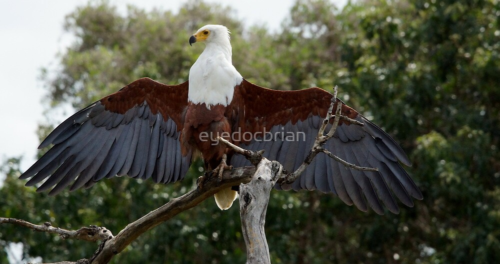 Fish Eagle Spreading Wings - Kruger National park by eyedocbrian