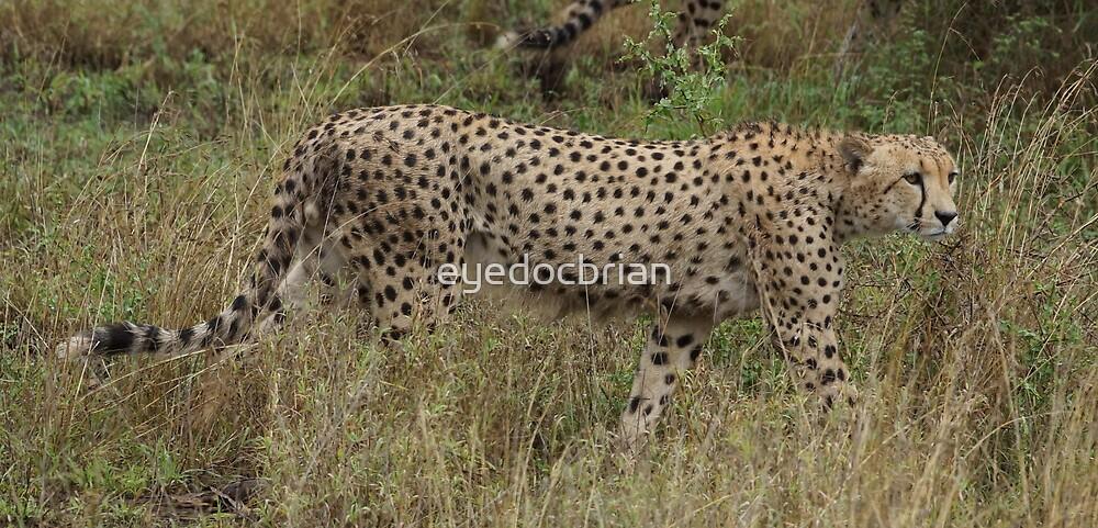 Cheetah - Kruger National Park by eyedocbrian