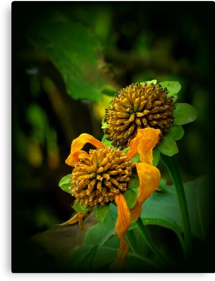 Ready For the Next Cycle of Life - Mexican Sunflower Seed Heads by AuntDot