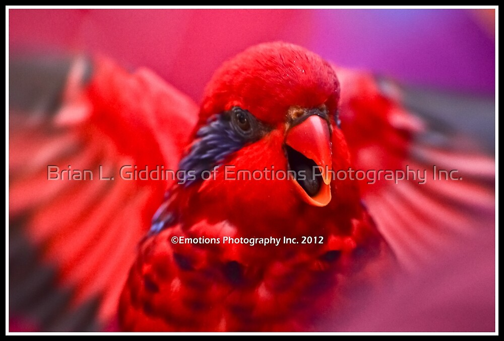 screaming by Brian L. Giddings of Emotions Photography Inc.