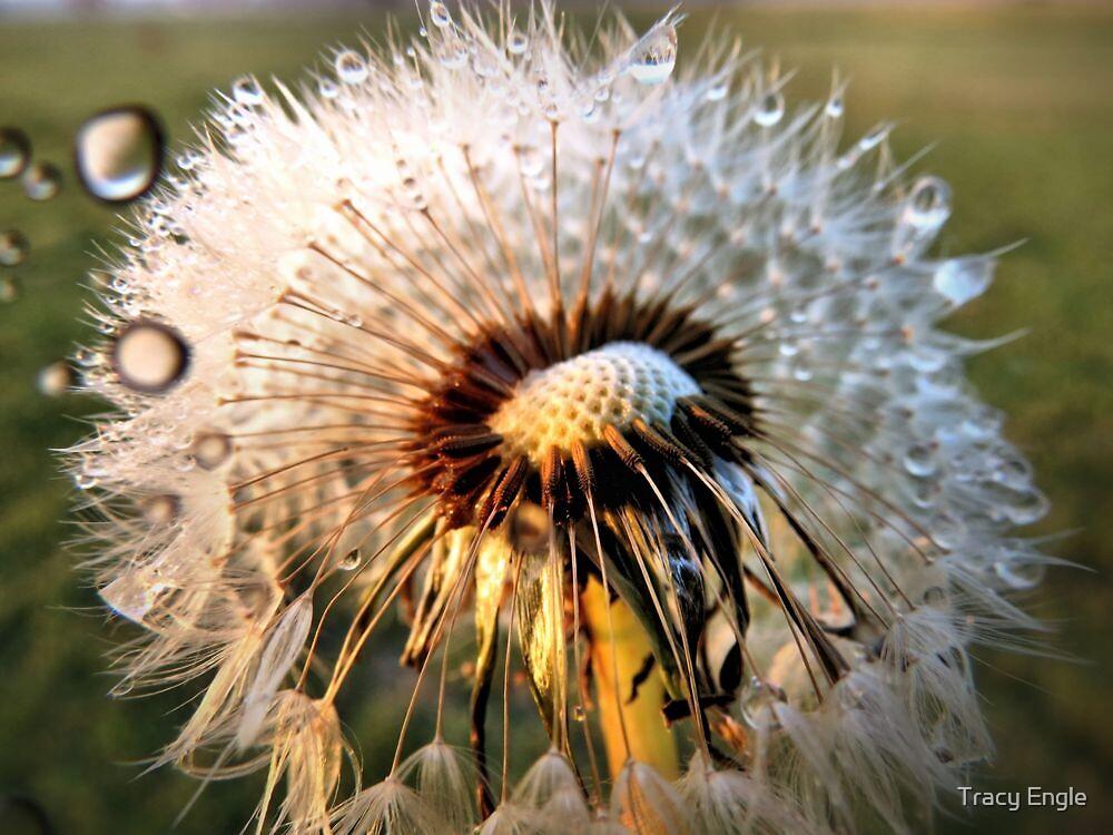 Dandelion in Dew by Tracy Engle