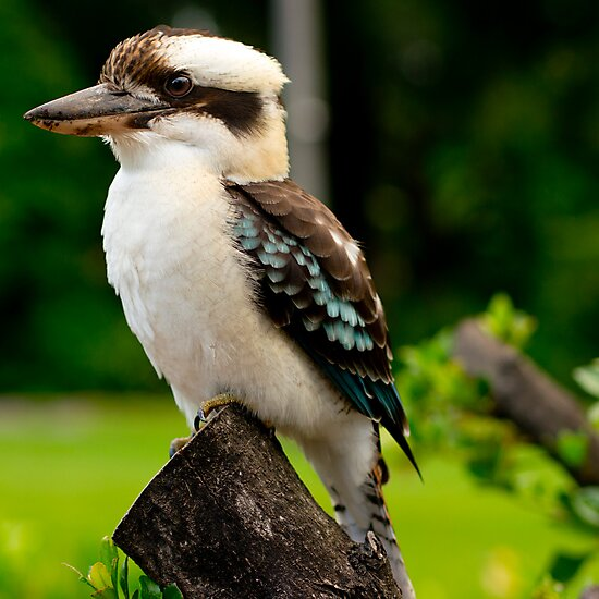 Kookaburra by simon metcher