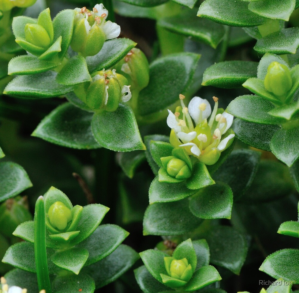 Sea sandwort at Urafirth, Shetland by Richard Ion