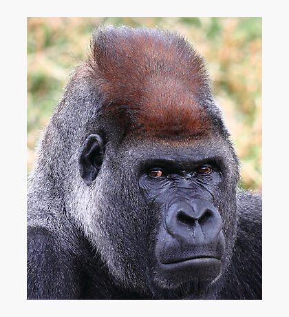 """Silverback Portrait"" Photographic Print"