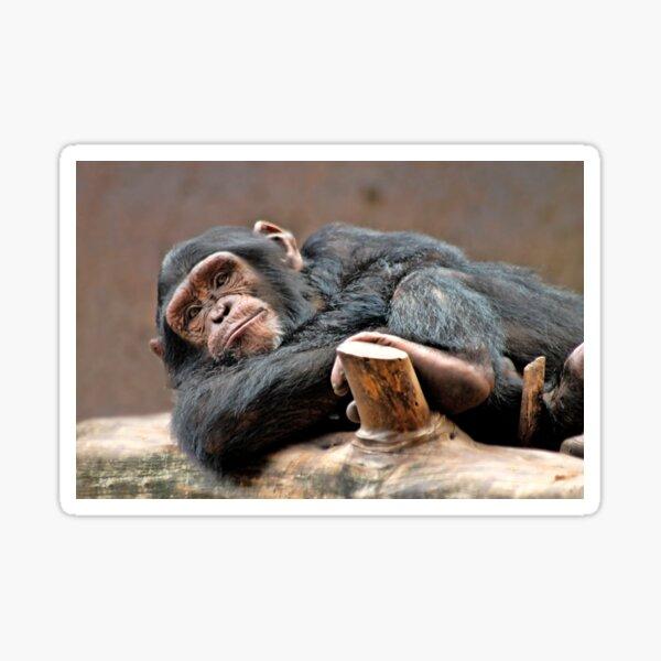 Chimpanzee Sticker