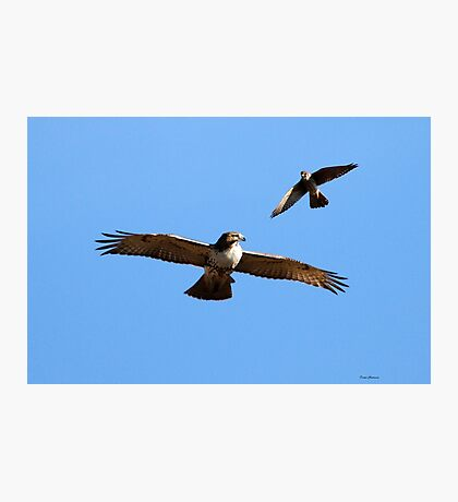 Kestrel and Hawk Photographic Print