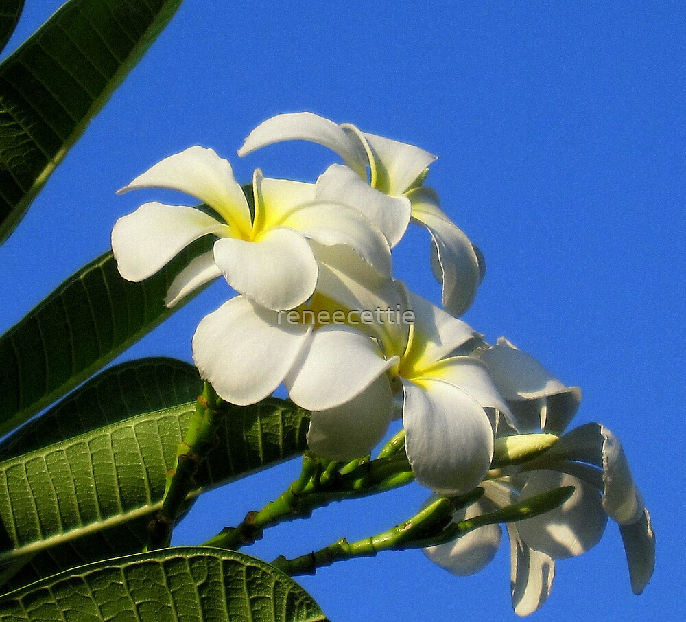 White Plumerias against Blue Sky by reneecettie